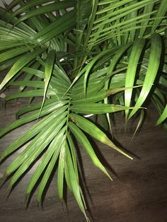 Can you guys tell me what's wrong with my majestic palm? Did I over water or under water? Majestic Palm, Whats Wrong With Me, Palm Plant, Parlour, Horticulture, Plant Leaves, Landscaping, Roses, Gardening