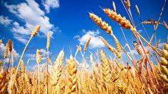 Investigan cultivos que consumirán nitrógeno del aire http://www.ticbeat.com/innovacion/investigan-cultivos-que-consumiran-nitrogeno-del-aire/
