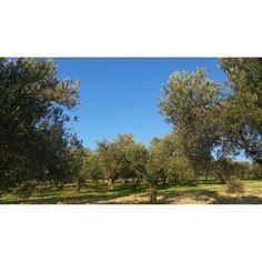 Olive tree. Zeytin ağaçları