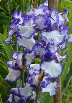 Iris Flowers, Planting Flowers, Beautiful Flowers, Iris Garden, Lawn And Garden, Growing Roses, Bearded Iris, Gladiolus, Spring Blooms