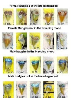 The budgie breeding mood