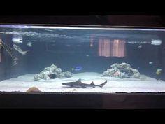 Aquarium Sharks, Saltwater Aquarium Fish, Home Aquarium, Indoor Pond, Leopard Shark, Fish Care, Animal Room, Tanked Aquariums, Animals