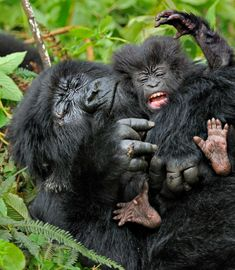 One of two things is going on here: either baby gorilla is throwing a temper tantrum OR he/she just saw a spider. ) Gorilla infant and mother / Photo credit: Andy Rouse/NBP Awards 2011 Nature Animals, Animals And Pets, Baby Animals, Funny Animals, Cute Animals, Animal Babies, Primates, Mammals, Beautiful Creatures