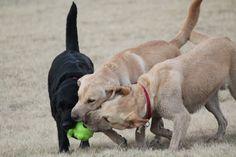 Ballwurfmaschine für Hunde. Hunde fangen ball aus Ballwurfmaschine. HIER MEHR ERFAHREN >> #Hunde #Hundespielzeug #Ballwurfmaschine