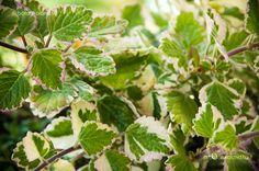 Kakassarkantyúka (Plectranthus Coleoides) gondozása, szaporítása (Kakassarkantyú, Szúnyogűző) Foliage, Plants, Balcony Plants, Herbs, Garden