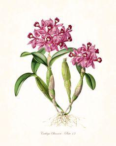 Vintage Orchid Flower Series No.13 - Botanical Print