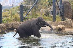 Taronga Zoo - Baby Elephant
