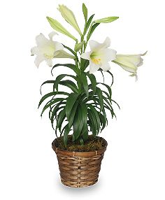 Please remember this Easter that lilies are toxic to cats. If they eat even one leaf they could go into kidney failure!