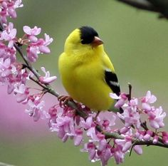 """Pinner said """"Yellow finches otherwise known as """"sky pigs""""....they eat constantly!"""""""