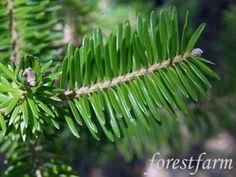 A faj kettős latin neve:Abies nordmanniana Magyar név:kaukázusi jegenyefenyő Család:Pinaceae Alcsalád: Abietoideae Rend:Pinales Életforma:MM  Termés:——