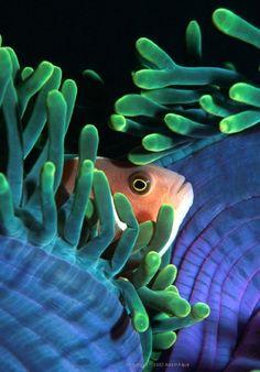Pink Anemonefish « AdamAqua Marine Underwater Photography