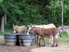 Thirsty in Donkeyland - One of 27 photos in the latest Friday Farm Fix on Farmgirl Fare.