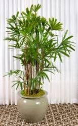 lady palm, rhapis excelsa, tall house plant indoor non toxic to birds