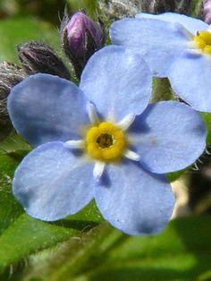 Small Forget-me-not (Myosotis laxa) - Meadow Garden Little Flowers, Blue Flowers, Wild Flowers, Beautiful Flowers, Flowers Nature, Tropical Flowers, Garden Drawing, Drawing Drawing, Forget Me Nots Flowers