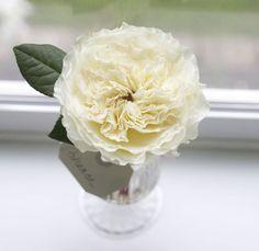 Flirty Fleurs Rose Study with David Austin Garden Roses - Patience