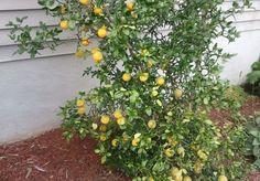 Hardy Orange seed Poncirus trifoliata a.k.a by CaribbeanGarden