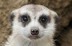 Cincinnati Restaurants, Cincinnati Zoo, Little Critter, Wildlife, Creatures, Photo And Video, Prairie Dogs, Animals, Wolverines