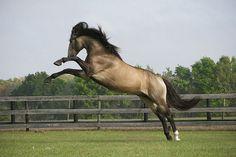 Veneno Imperial Lutisano Stallion by sagetopaz on Flickr.