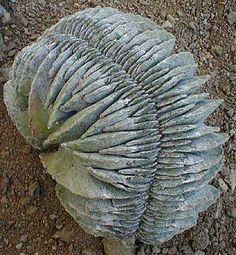 Astrophytum coahuilensis  a cristate form