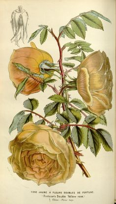 Rose Wang-Jang-Ve. v.8 (1852-53) - Flore des serres et des jardins de l'Europe - Biodiversity Heritage Library