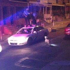 中型犬に吠えられてパトカーの上に逃げる警察官