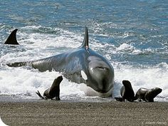 Some pods of orcas have learn to hunt seal and snatch them right off of the shoreline. Not all orcas eat mammals. Learn about transients and resident pods. Orcas, Beautiful Creatures, Animals Beautiful, Wale, Ocean Creatures, Mundo Animal, Killer Whales, Sea World, Ocean Life