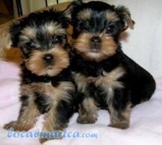 Two Adorable Tea Cup Yorkie Puppies For Adoption(507) 291-5493