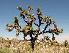 JOSHUA TREE. Dopo il Saguaro è l'albero più rappresentativo dei deserti sud-occidentali degli Stati Uniti, nel deserto del Mojave. Raggiunge un'altezza fino a 15 metri