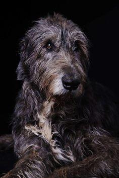 That is Wallace! Beautiful Dogs, Animals Beautiful, Irish Wolfhound Dogs, Irish Terrier, Irish Hound, Scottish Deerhound, Huge Dogs, Dog Lady, Fauna