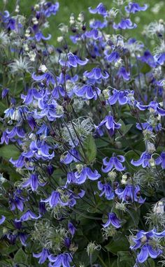 Herbascious clematis Stand By Me is a non-vining clematis with beautiful blue bell-shaped flowers. Will rebloom through spring and summer. Clematis Plants, Clematis Flower, Clematis Vine, Flowers Perennials, Planting Flowers, Clematis Varieties, Blue Clematis, Flower Gardening, Garden Shrubs