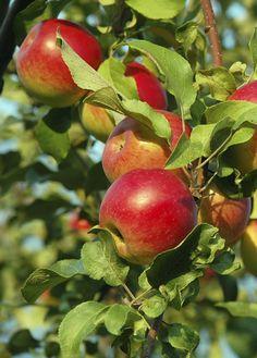Appelboom snoeien: Je kunt appelbomen en perenbomen twee keer per jaar snoeien:  Aan het eind van de winter in februari snoei je dikke oude takken weg en spaar je de kortloten. Dit is bloemhout. In juni snoei je nog een keer. Als reactie op de winterse snoei, maakt de boom veel waterlot. Dit zijn de snelgroeiende recht omhoog schietende takken. Trek waterlot weg, zo komt het niet terug.