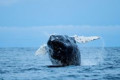Giant humpback whale breaching and shooting inverted into air near Tromso, Norway -- by Ole Salomonsen