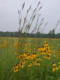 big bluestem (native prairie grass) and black eyed susans