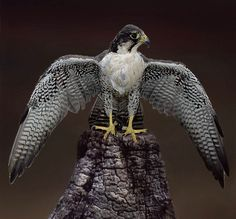 Falcon by Ronald Coulter