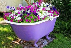 Petunias growing in an old clawfoot tub