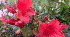 DISFRUTAR CON EL HUERTO Y EL JARDÍN: RODODENDROS Y AZALEAS (Rhododendron spp) EN EL JARDÍN