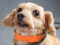 Adopt Nessie, a lovely 4 years Dog available for adoption at Petango.com…