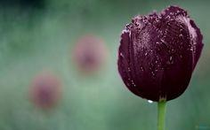 dark purple tulip...pretty pretty