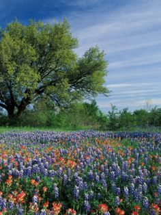 Paintbrush and Bluebonnets, Hill Country, Texas, USA Photographic Print by Adam Jones at AllPosters.com