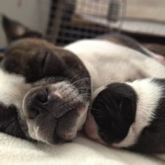Picture 960 « [Slideshow] Awesome Photos Of Newborn Boston Terriers | iBostonTerrier.com - Boston Terrier News - Health - Photos - Videos