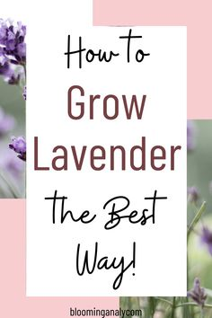 Do you love the smell of sweet lavender? Learn to grow your own lavender herb in your garden. Click on the pin to learn how to grow lavender outdoors. #lavenderplant #growlavender #growlavenderoutdoors. #lavenderherb Lavender Uses, Growing Lavender, Urban Gardening, Container Gardening, Gardening For Beginners, Gardening Tips, Grow Your Own, Garden Design, Diys