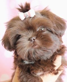 Browse tiny Teacup and Imperial Shih Tzu puppies for sake by TeaCups, Puppies & Boutique of South Florida! Chien Shih Tzu, Shih Tzu Puppy, Shih Poo, Cute Puppies, Cute Dogs, Dogs And Puppies, Doggies, Animals And Pets, Baby Animals