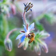 Borage (Borago officinalis) easy to grow, edible and full of omega 3's!  Looks sweet on a wedding cake