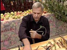 Maioli Frutti: Frutti Antichi, gli Innesti