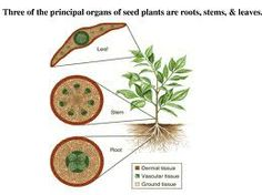 vascular plant tissue Biol 1030 – topic 8 lecture notes topic 8: structure and function of vascular plant cells and tissues (chs 35-39) i introduction a most vascular plants continue.