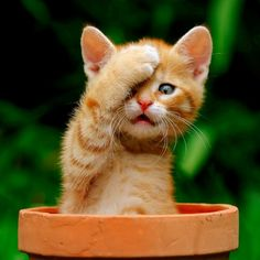 """""""This ginger kitten named Garfield seemed to believe it was invisible as it covered one eye with a paw and sat in a flower pot to hide from a large dog."""" ♥"""