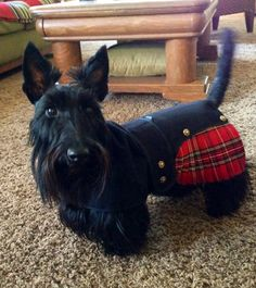 Lucy  | we love scotties at www.northtexasscottierescue.com