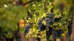 Corvina, Grappoli di Corvina, vitigno usato per produrre Amarone Valpolicella