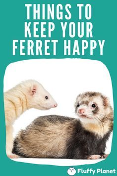 Things To Keep Your Ferret Happy Ferret Pet Ferret Ferrets Care