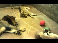 Lazy lion pride plays ball together - YouTube